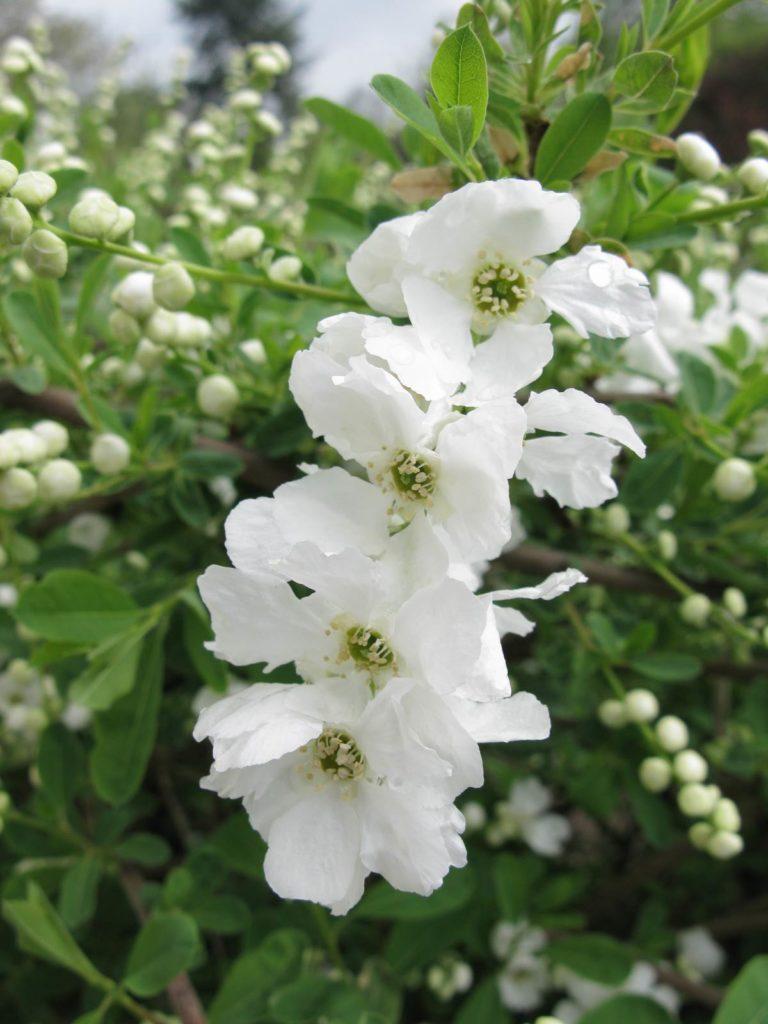 Philadelphus floraison printanière