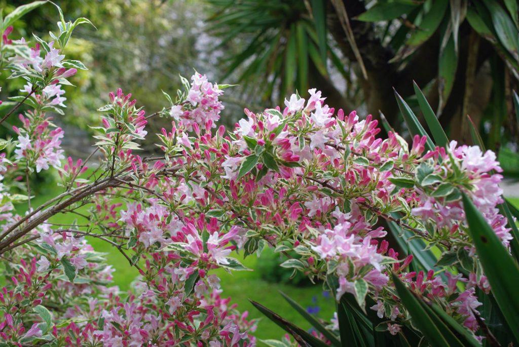 Weilega floraison printanière