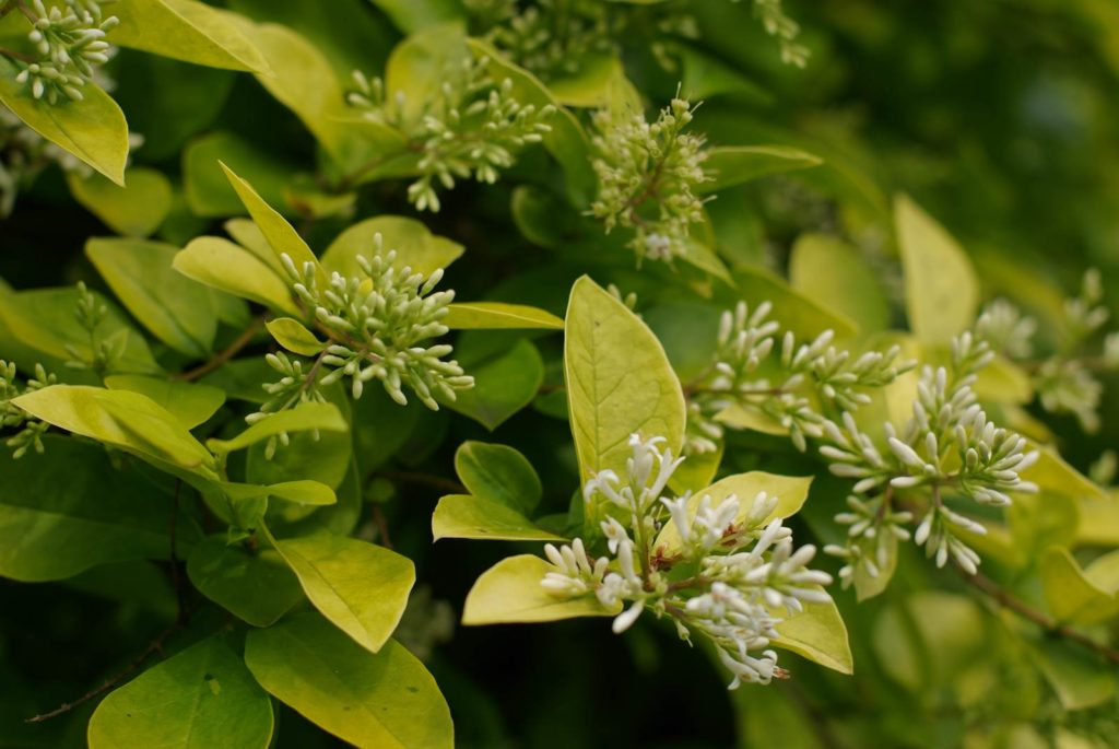 Arbuste feuillage caduc