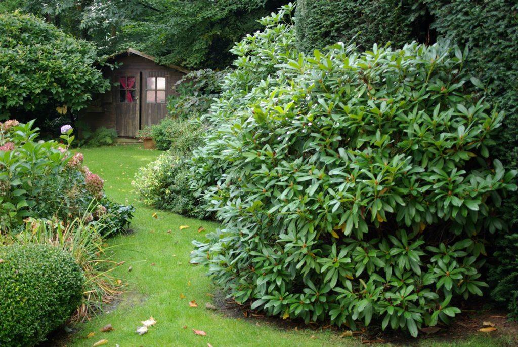Arbustes feuillage persistant