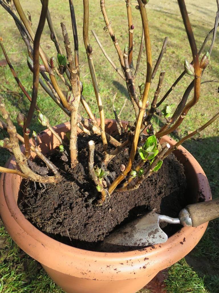 Mars au jardin hortensia en pot