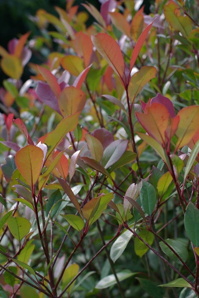 Photinia feuillage persistant