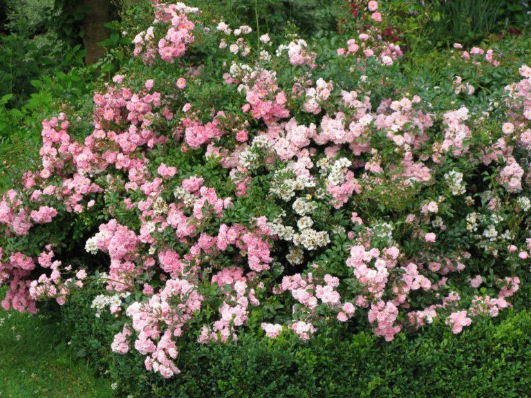 rosier floraison estivale
