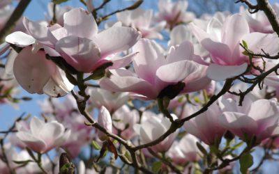 Le magnolia, l'aristocrate du jardin