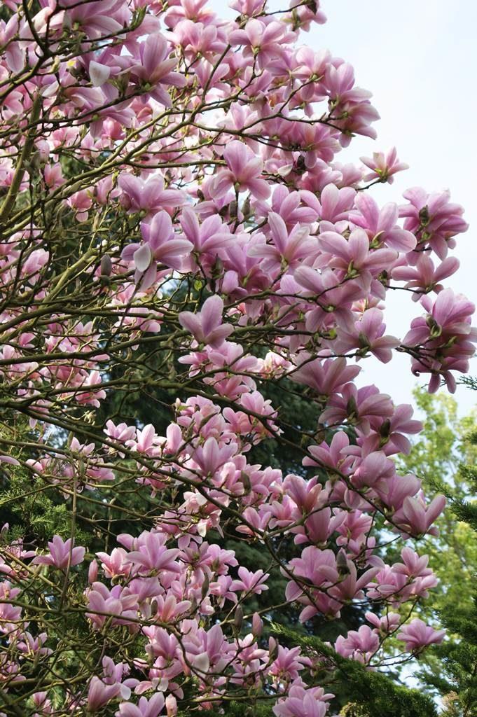 Magnolia Haevent Scent