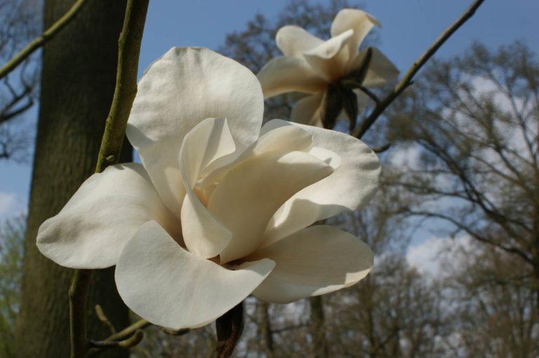 Magnolia Leda