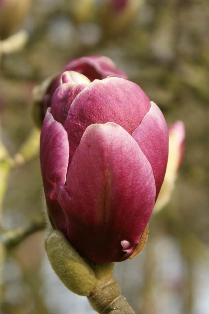 Magnolia Pickards Garnet