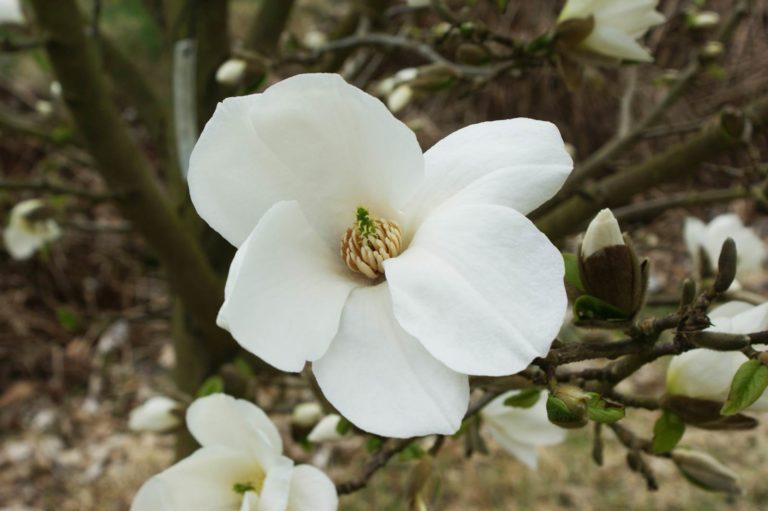 Magnolia kobus Janaki Ammal