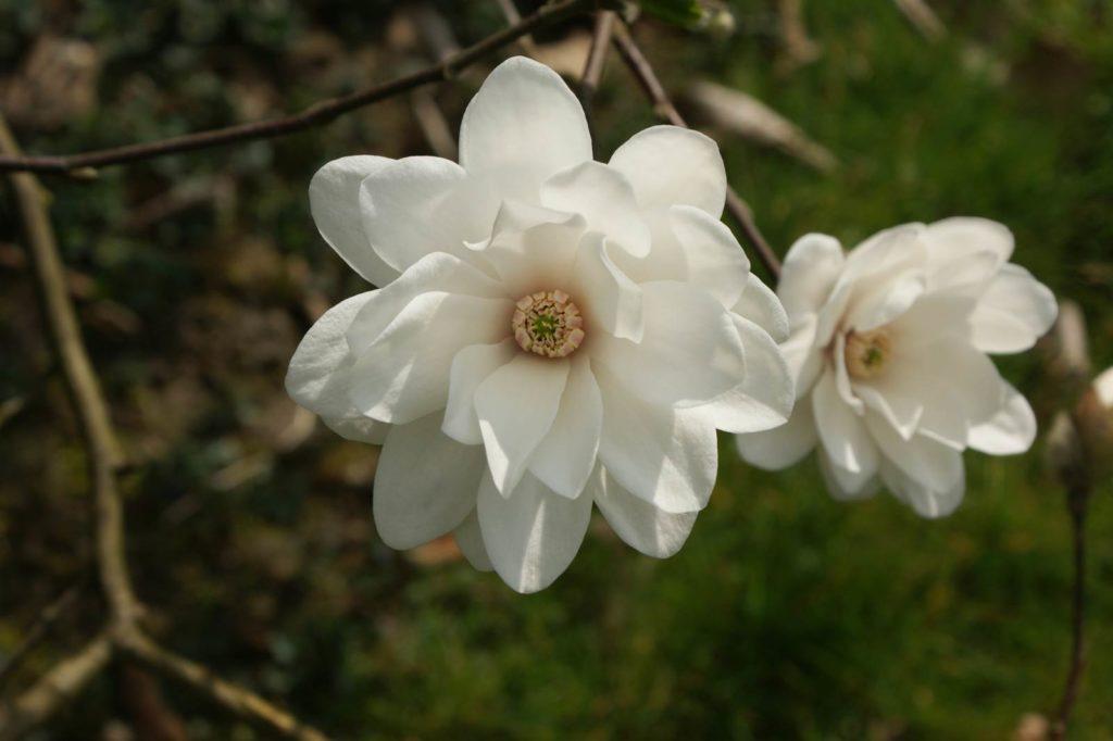 Magnolia loebneri Mags Pirouette