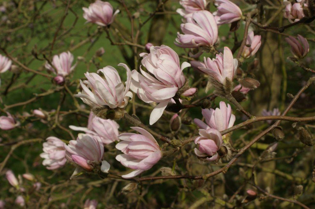 Magnolia stellata Chrysanthemiflora
