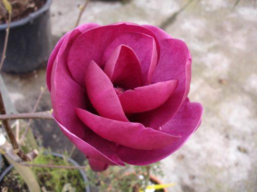 Magnolia x Black Tulip