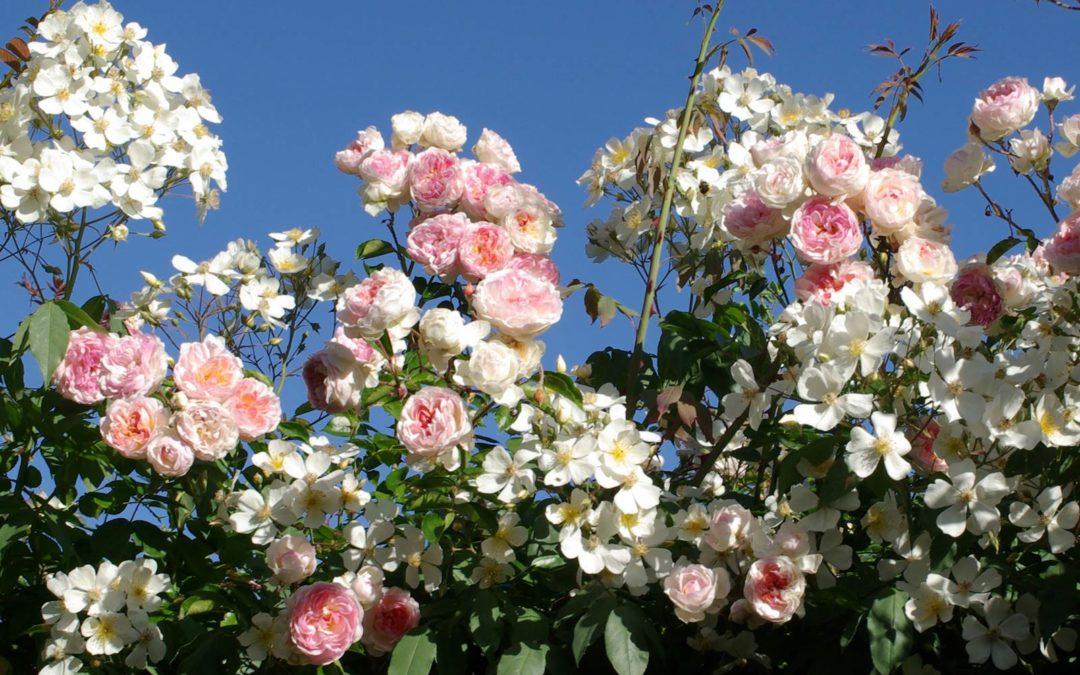 Le jardin du rosiériste André Eve, îlot secret