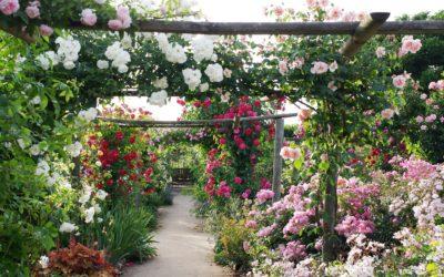 La création des roses