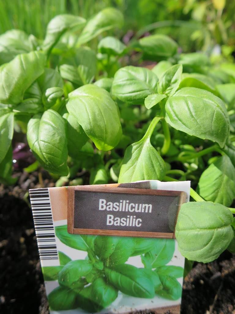 potager basilic vert