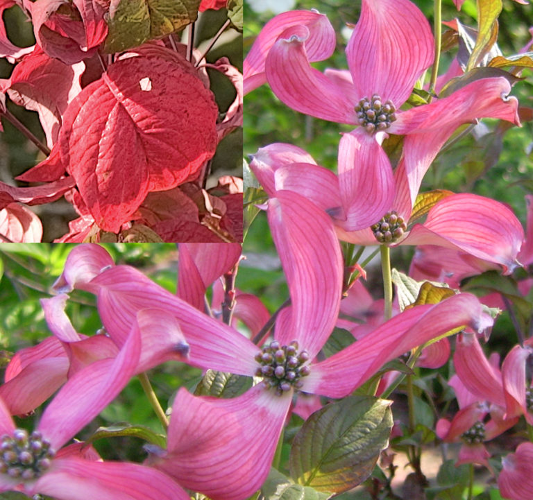 Cornus florida Royal Red