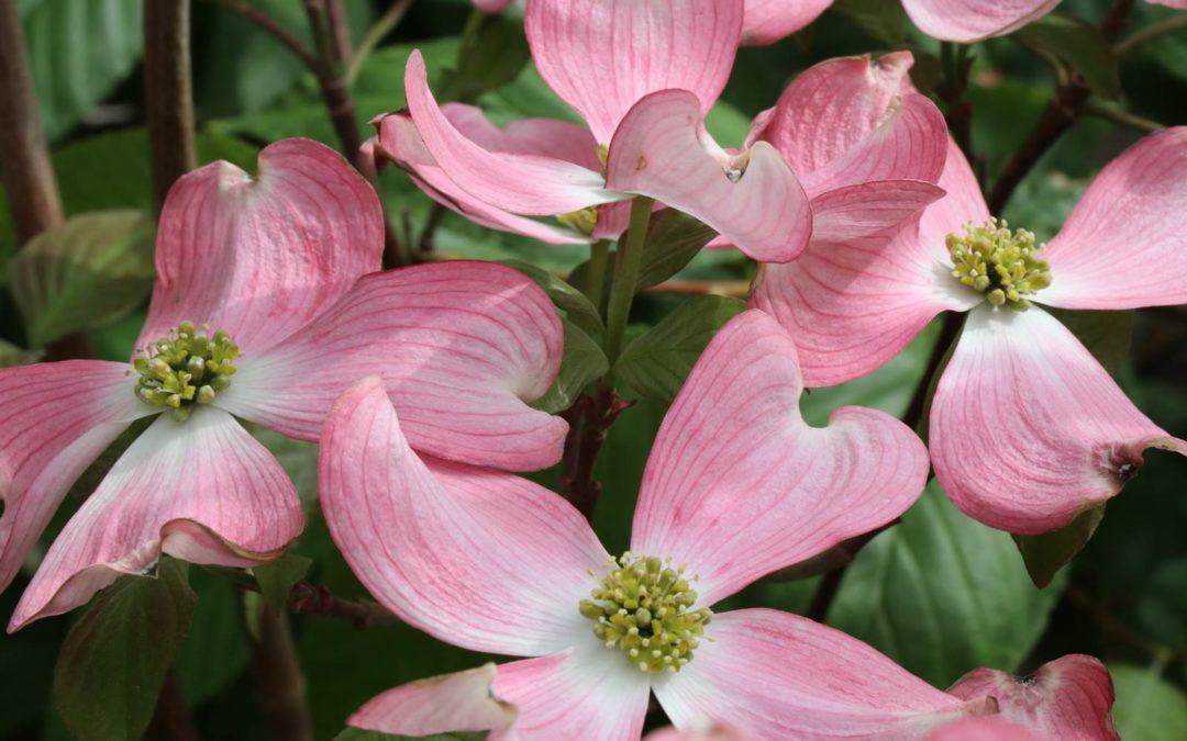Les cornouillers à fleurs, un charme fou
