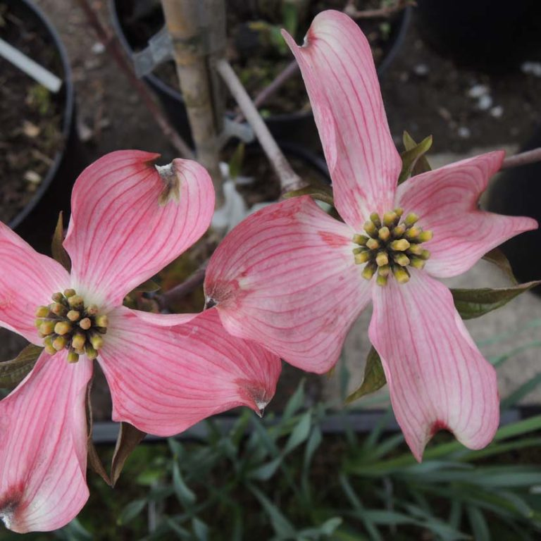 Cornus florida Heistra