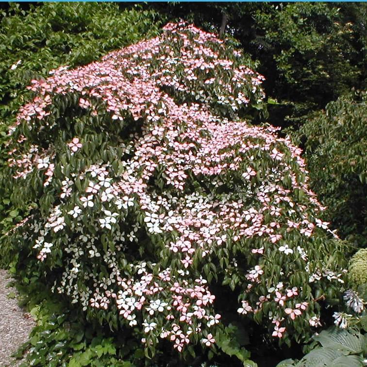 Cornus kousa Kreftenbroek Pink