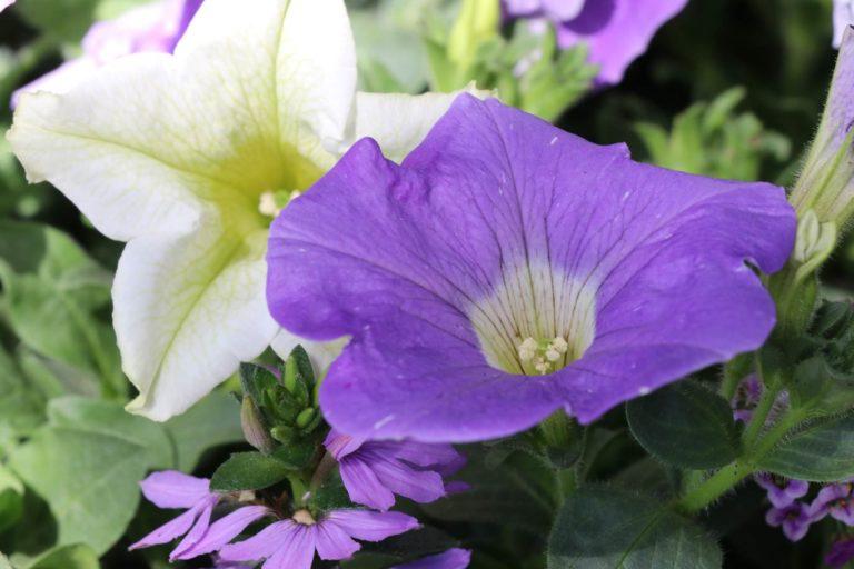 Fleurs annuelles terrasse