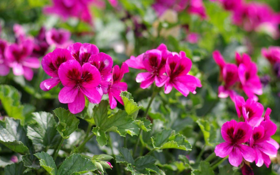Plantes annuelles et d 39 int rieur archives la terre est for Geranium d interieur