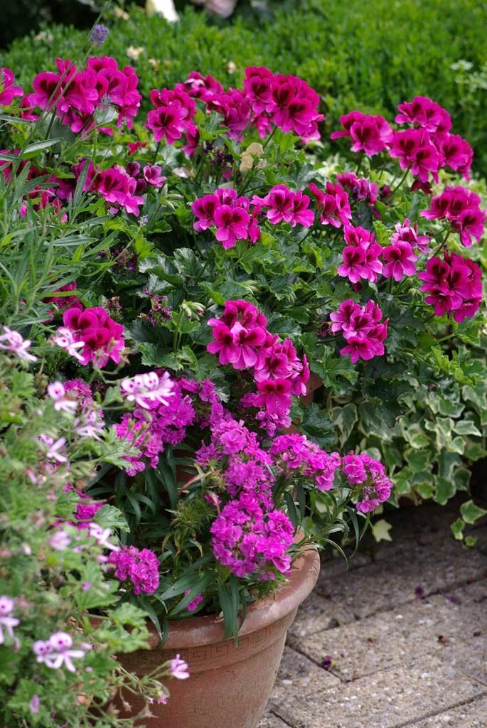 Géranium des fleuristes