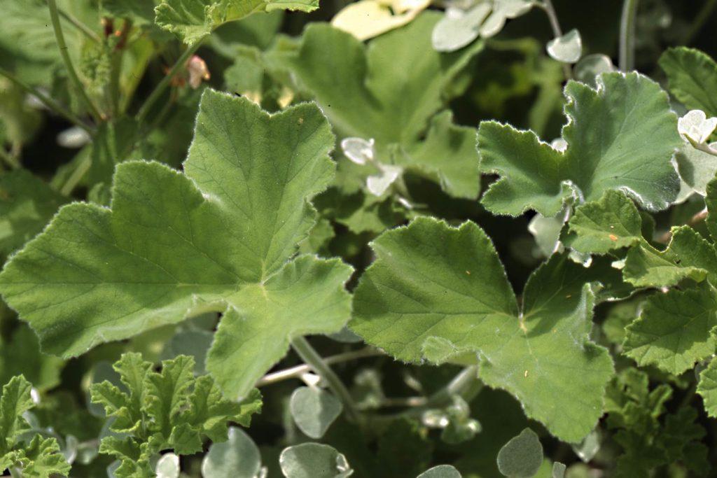 Géranium tomentosum
