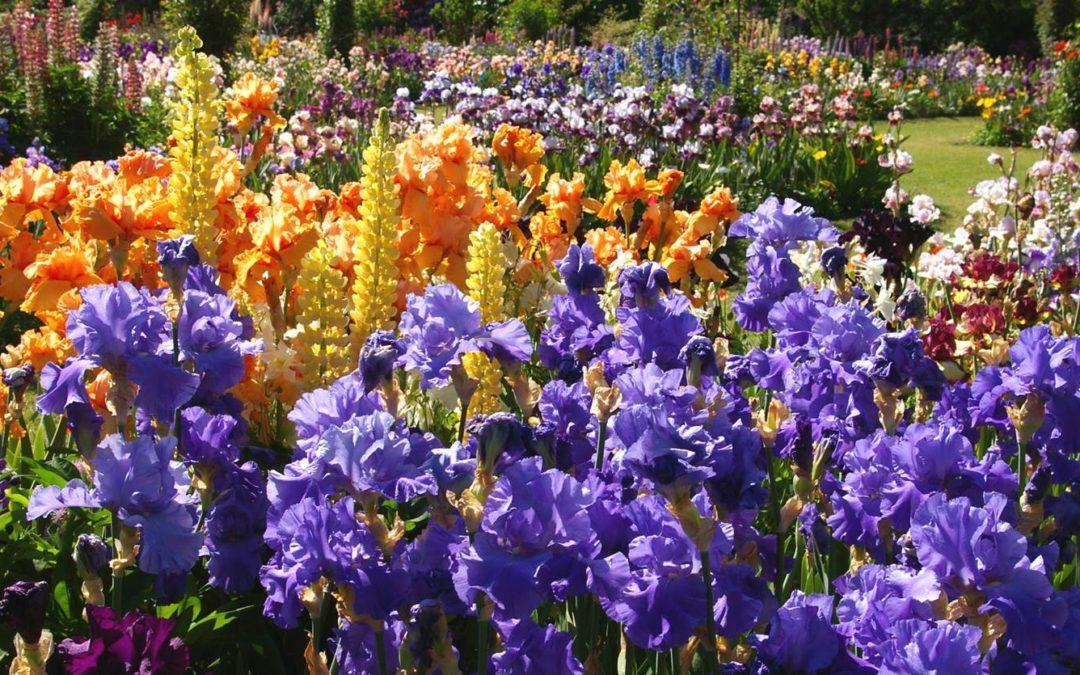 Le grand bal des iris Cayeux
