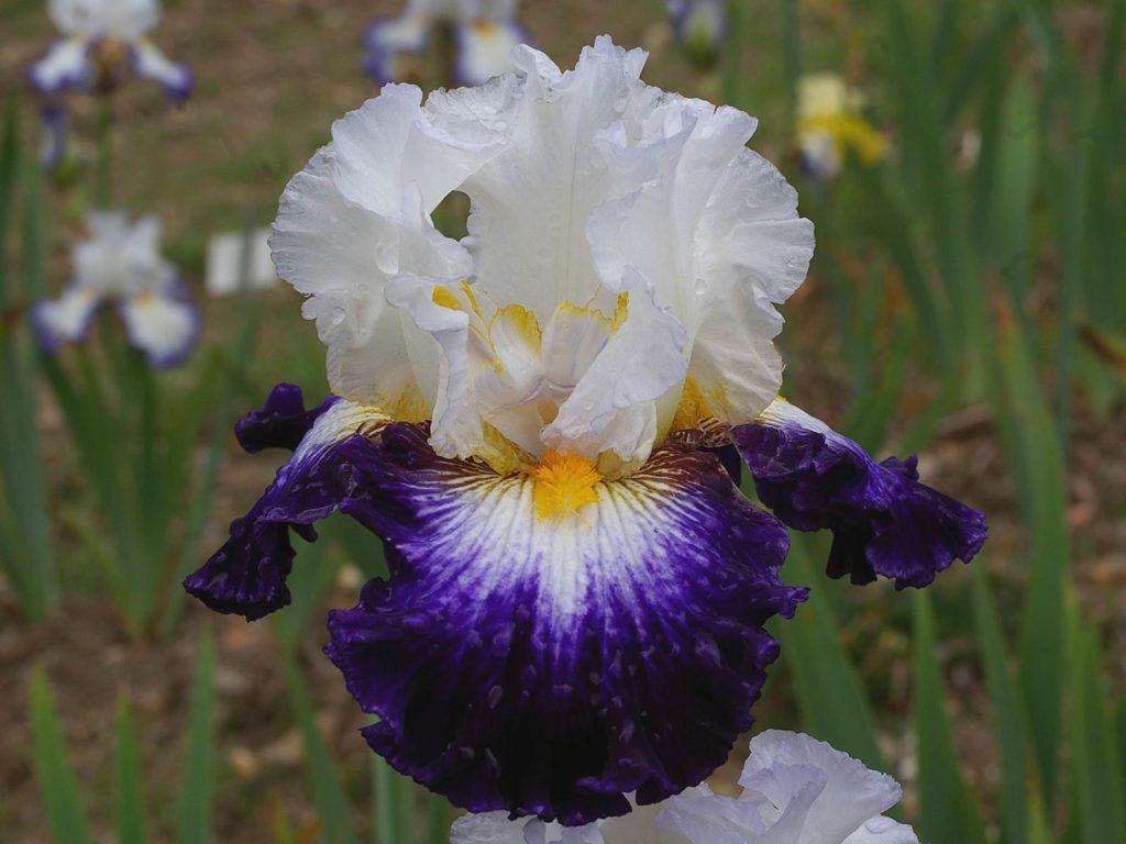 Iris Cayeux Faïence de Gien