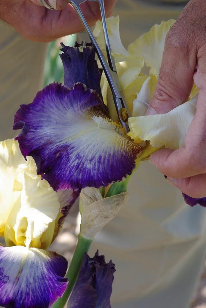Iris Cayeux hybridation