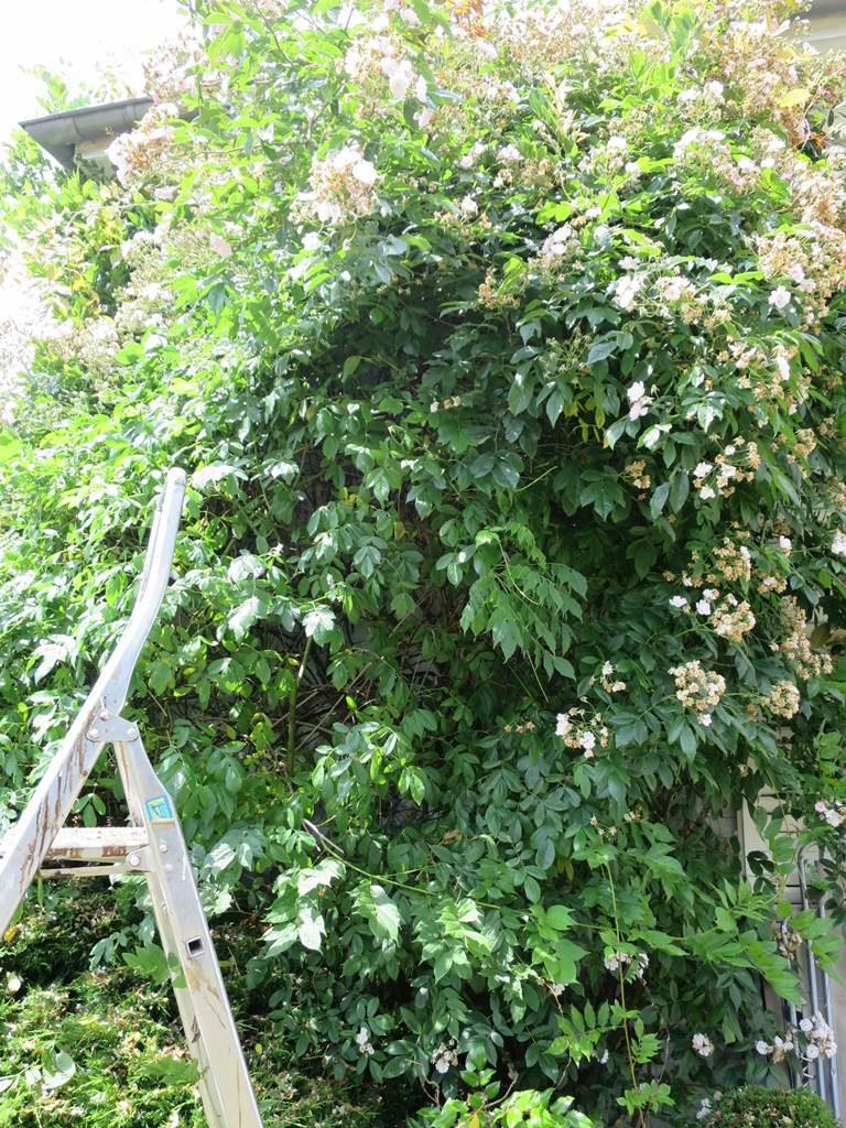 Taille du rosier liane