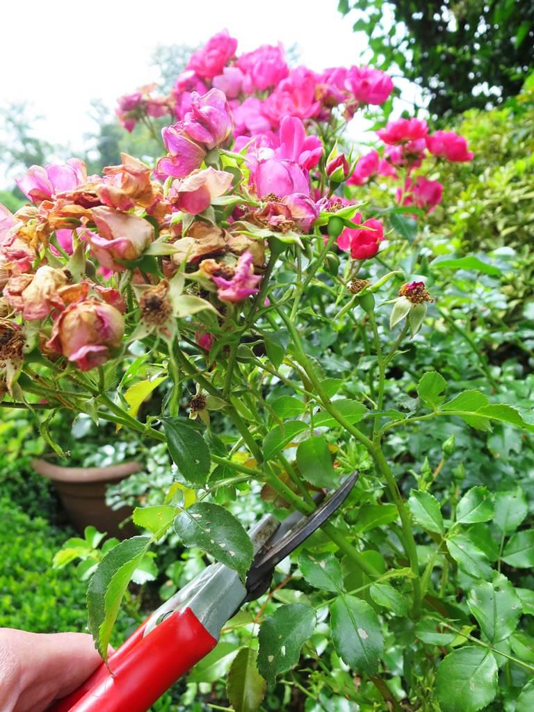 Couper les roses fanées
