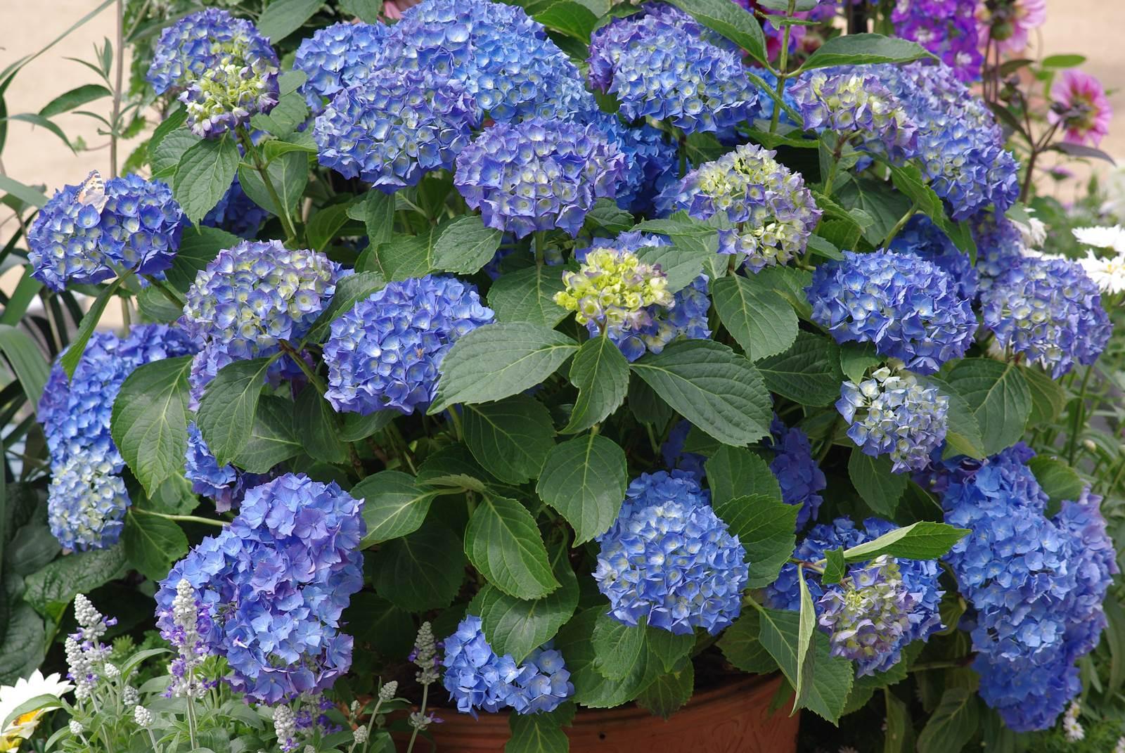 Arbuste Pour Terrain Calcaire la vogue des hortensias - la terre est un jardin