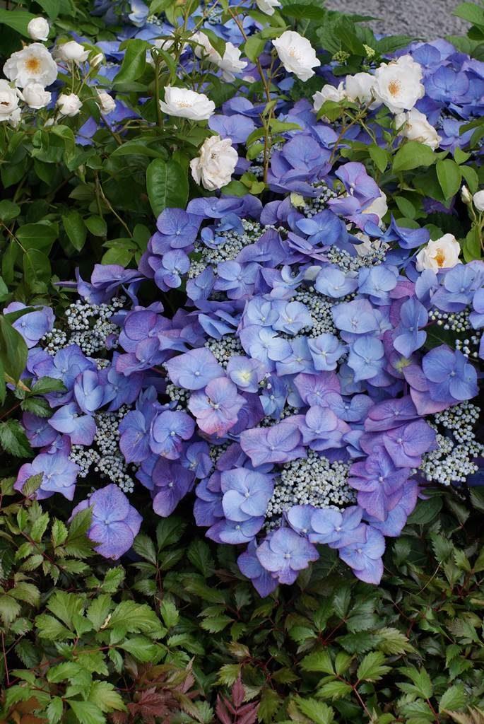Hydrangea macrophylla Blaumeise bleu