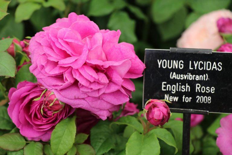 Rosier Young Lycidas