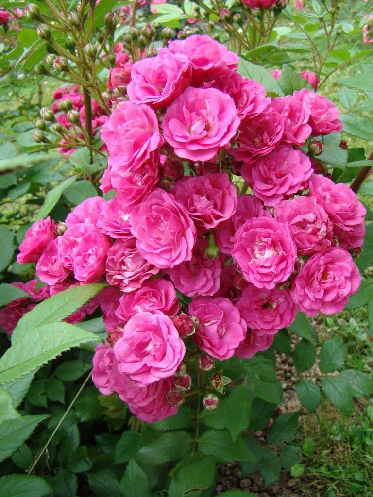 Dinky Lens Roses