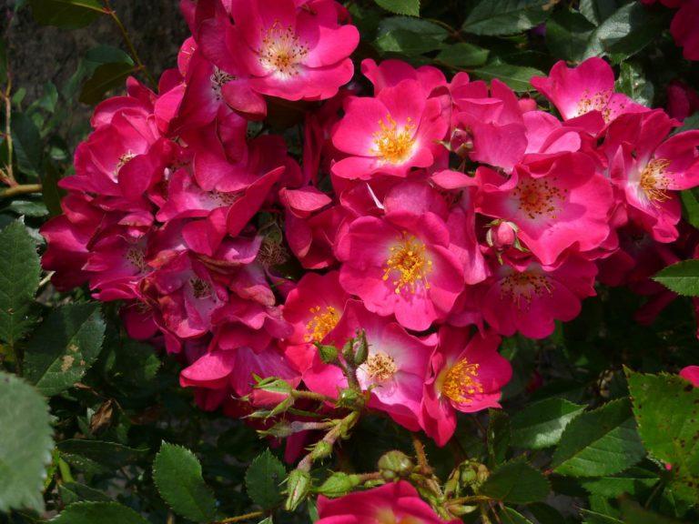 Grand Duc Jean Lens Roses