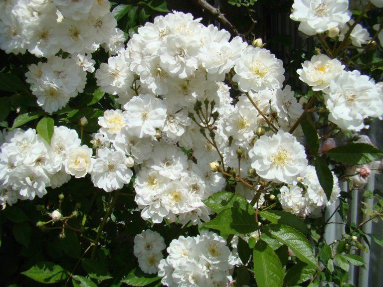 Guirlande d'Amour Lens Roses