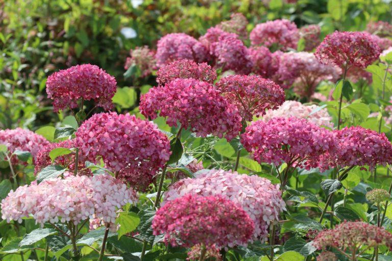 Hydrangea aarborescens Pink Annabelle