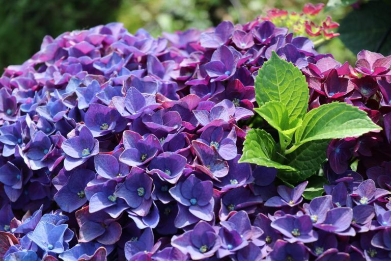 Hydrangea macrophylla Deep Purple Dance
