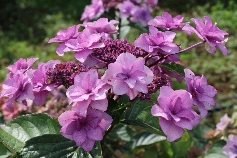 Hydrangea macrophylla Etoile Violette