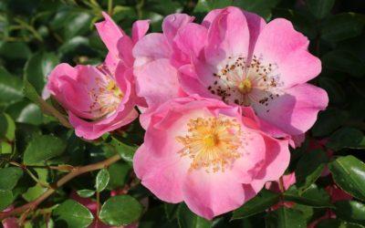 Le Roeulx et ses roses nouvelles