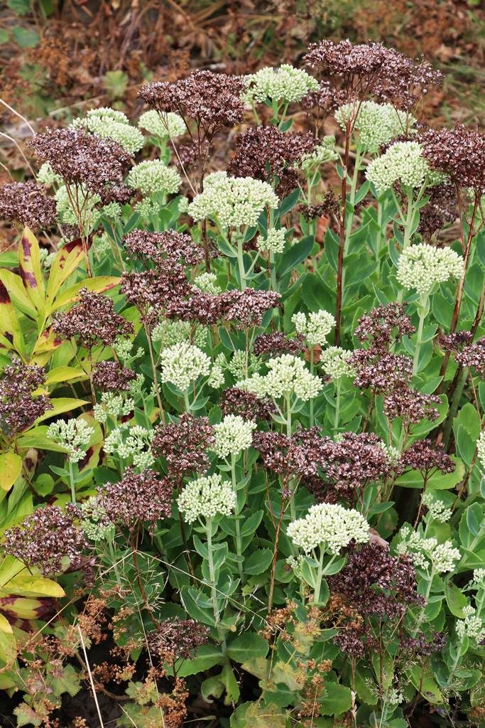 Plantes vivaces Sedum