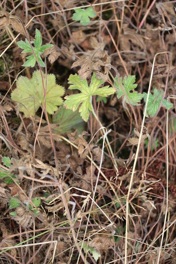 Plantes vivaces géranium