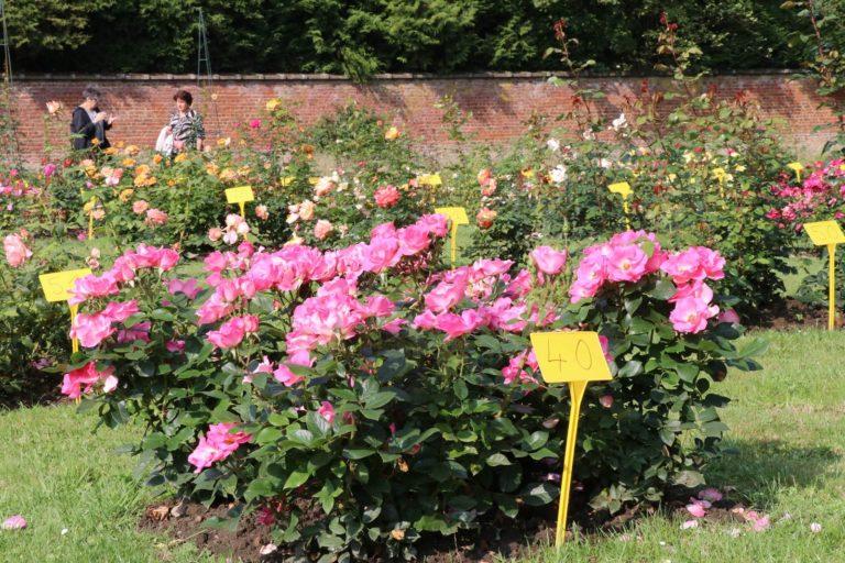 Concours International de roses nouvelles au Roeulx