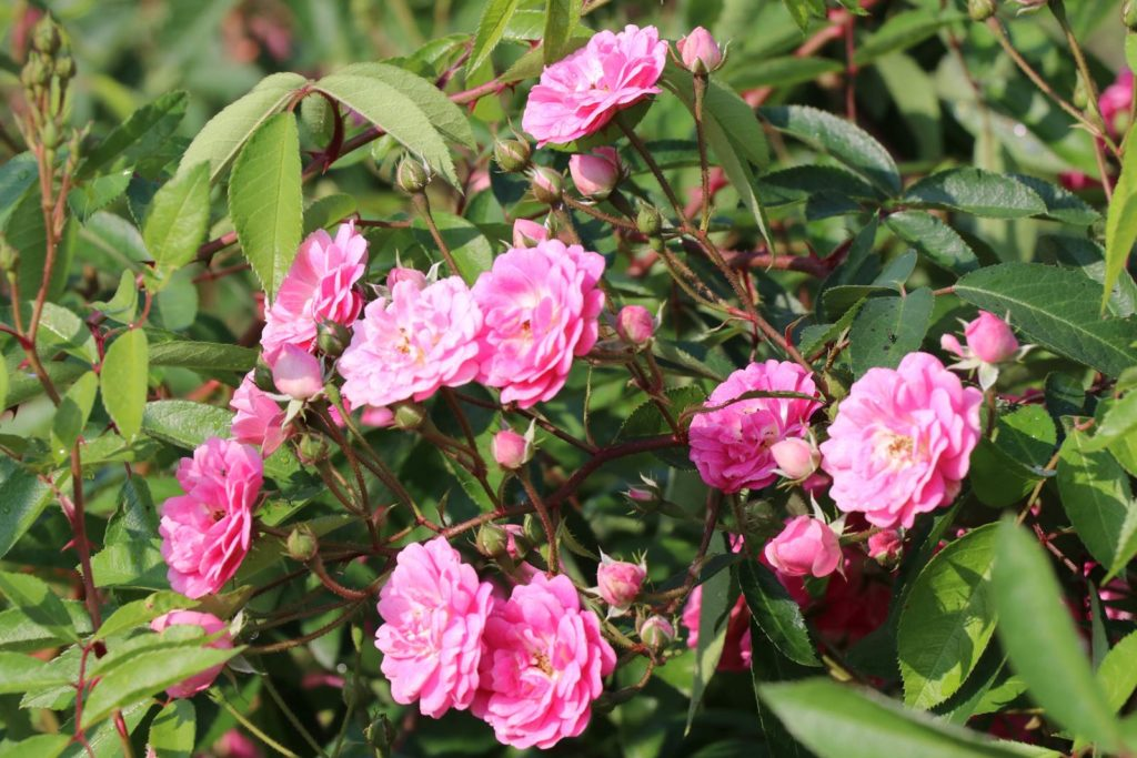 Swert Lakey Roeulx rose Elite du Roeulx 2017