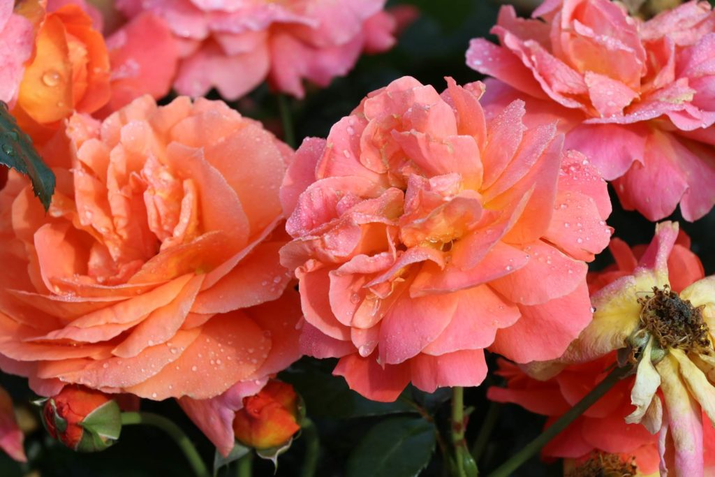 Tantau Roeulx Morning Sun Certificat de mérite floraison en bouquet
