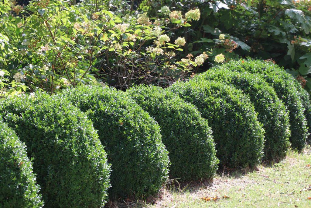 taille du buis août au jardin
