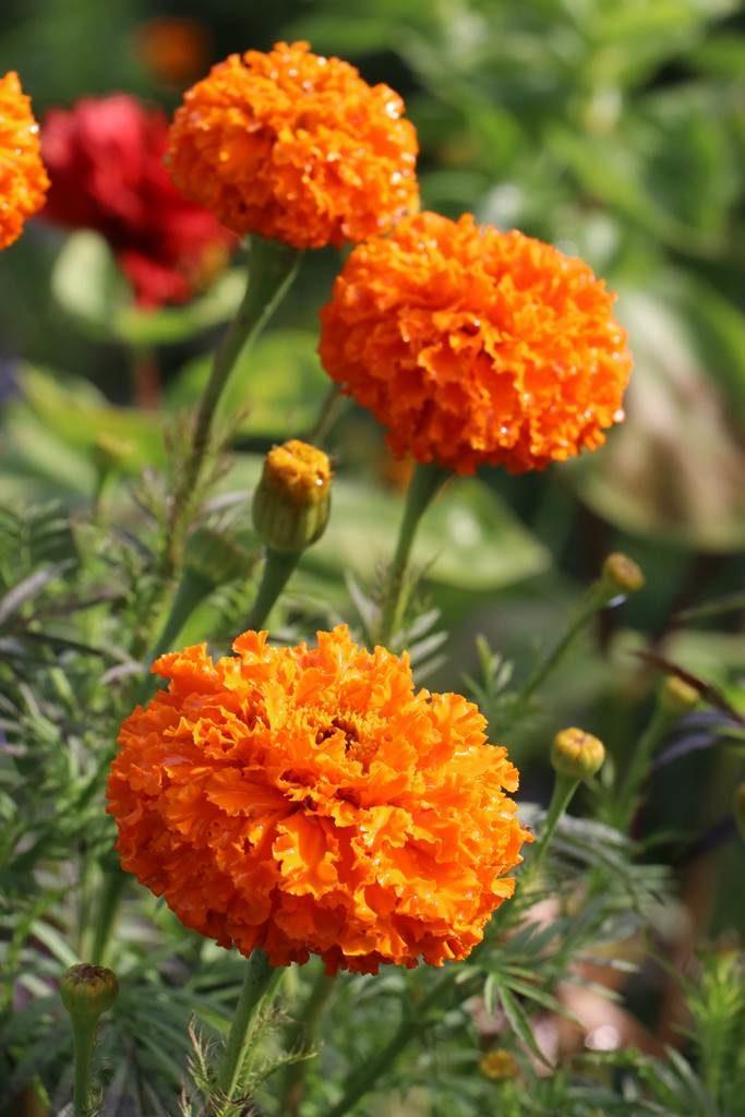 Tagete erecta Kees Orange