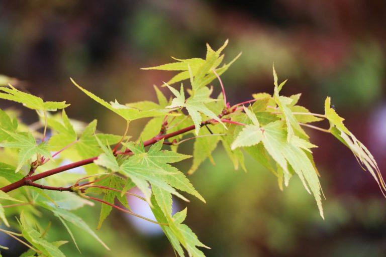 Acer palmatum Sunrise