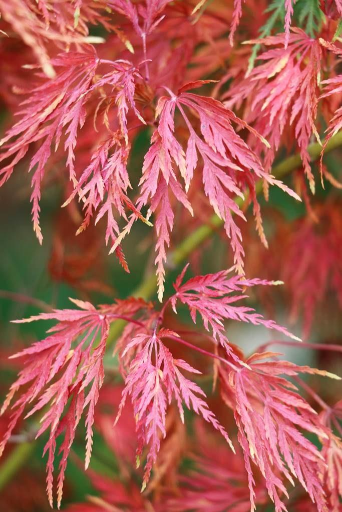 Acer palmatum Seryu